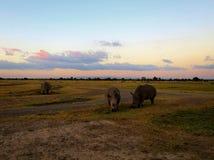 Nashörner durch Sonnenuntergang Stockbild