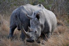 Nashörner von Südafrika lizenzfreie stockfotos