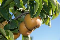Nashi Pears. On the tree ready to pick Stock Photography