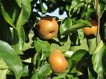 Nashi pears known also as apple pears hanging on the tree . Pyrus pyrifolia is a species of pear tree of the Rosaceae family. Native of East Asia Stock Photography