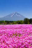 NASHIYAMA, JAPAN May 2015: People from Tokyo and other cities come to Mt. Fuji and enjoy the cherry blossom at spring every year. Royalty Free Stock Images