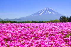 NASHIYAMA, JAPAN May 2015: People from Tokyo and other cities come to Mt. Fuji and enjoy the cherry blossom at spring every year. Stock Images