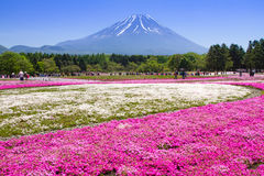 NASHIYAMA, JAPAN May 2015: People from Tokyo and other cities come to Mt. Fuji and enjoy the cherry blossom at spring every year. Stock Photography