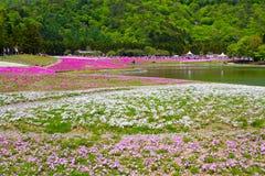 NASHIYAMA, JAPONIA Maj 2015: Ludzie od Tokio i innych miast przychodzą Mt Fuji i cieszy się czereśniowego okwitnięcie przy wiosną Obraz Stock