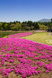 NASHIYAMA, JAPONIA Maj 2015: Ludzie od Tokio i innych miast przychodzą Mt Fuji i cieszy się czereśniowego okwitnięcie przy wiosną Obrazy Royalty Free