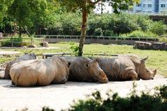 Nashorn Stockfoto