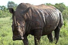 Nashorn Lizenzfreie Stockfotografie