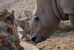 Nashorn Stockfotografie