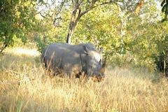 Nashorn! lizenzfreies stockbild