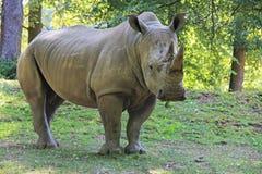 Nashorn Stockbild