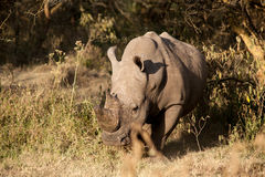 Nashorn Lizenzfreie Stockfotos