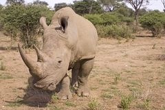 Nashorn in Afrika Lizenzfreie Stockfotos