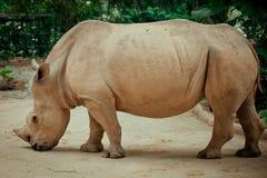 Nashorn in Afrika Stockfotos