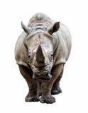 Nashorn auf weißem Hintergrund Stockbild