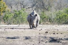 Nashorn bereit aufzuladen lizenzfreie stockfotos