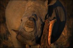 Nashorn, das Beitrag verkratzt Stockbild