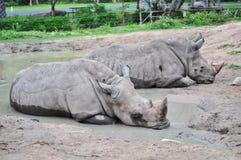 Nashorn, das in den Schlamm-Teich legt Stockfotos