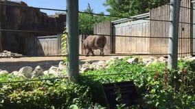 Nashorn, das um eine Zooeinschließung geht stock footage
