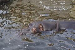 Nashorn, das vom Wasser im Zoo auswählt stockbild