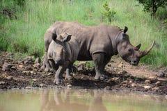 Nashorn, das am waterhole trinkt Lizenzfreies Stockbild