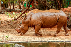 Nashorn, das in Zoo geht Stockbild