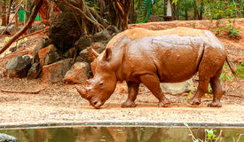 Nashorn, das in Zoo geht Lizenzfreies Stockfoto