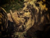 Nashorn in der Sonne lizenzfreie stockfotos