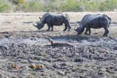 Nashorn an einer fast trockenen Wasserstelle lizenzfreie stockfotos