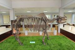 Nashorn-Fossilien Lizenzfreie Stockbilder