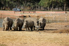 Nashorn geben Safari frei Stockfotos
