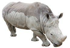 Nashorn getrennt auf Weiß Lizenzfreies Stockfoto
