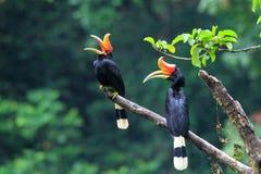 Nashorn Hornbill Stockfoto