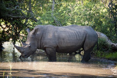 Nashorn im Kruger Park Lizenzfreie Stockfotografie