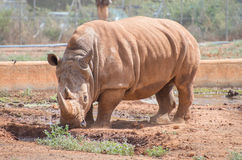 Nashorn im Nationalpark Stockfoto
