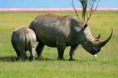 Nashorn im wilden Stockbild