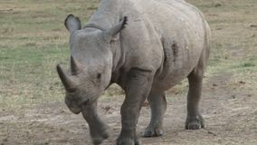 Nashorn in Kenia stock video