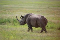 Nashorn in Kenia Lizenzfreies Stockfoto