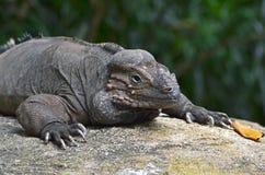 Nashorn-Leguan Stockbild