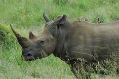 Nashorn mit Fluggästen Stockfoto