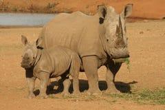 Nashorn mit Kalb Stockbilder