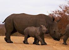 Nashorn mit Schätzchen Stockfotos