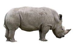 Nashorn-Nachricht Lizenzfreies Stockfoto