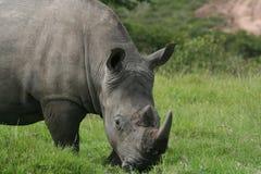 Nashorn-Nahaufnahme Stockfoto