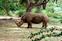 Nashorn am Park in Mysuru Lizenzfreies Stockbild