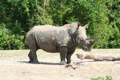 Nashorn-Profil Lizenzfreie Stockfotos