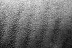 Nashorn-Rippen Lizenzfreie Stockfotos
