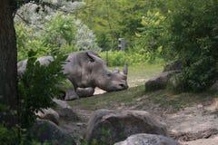 Nashorn-Schlaf Lizenzfreies Stockfoto