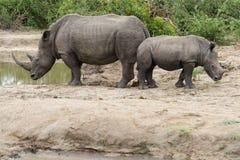 Nashorn und Kalb, die entgegengesetzte Richtungen an einer Wasserstelle im Park gegen?berstellen stockfotografie