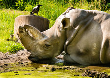 Nashorn- und Rabenfreundschaft stockbilder