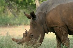 Nashorn und Vogel stockbild